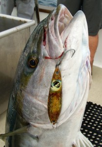 Big yellowtail on the Bait Wraps jig