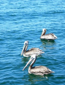 Pelicans waiting for fillet scarps