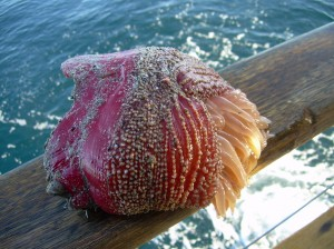 Odd catch of the day: An Anenome